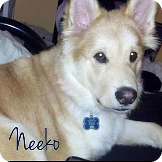 Garden City Mi Alaskan Malamute Meet Neeko A Pet For Adoption