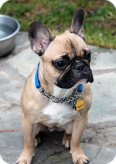 Lynnwood Wa French Bulldog Meet Yogi A Pet For Adoption