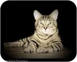 Domestic Shorthair Cat for adoption in Cambridge, Massachusetts - Harry Hou