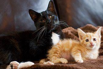Adopt A Pet :: Bonx  - Troy, MI