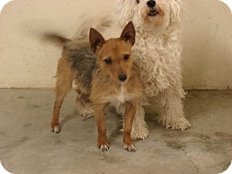 Cairn Terrier Mix Dog for adoption in Fort Scott, Kansas - Scrappy