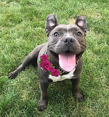 Cranford Nj French Bulldog Meet Nina A Pet For Adoption