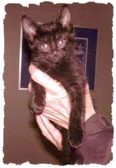 Domestic Shorthair Kitten for adoption in Bay City, Michigan - Shadow