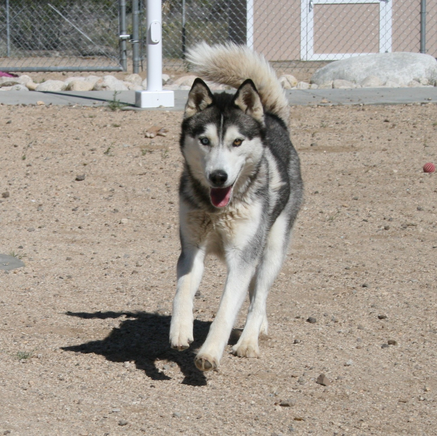 Husky puppies for sale yucca valley - Yucca Valley Ca Siberian Husky Meet Serenity Hera Rheneer A Dog For Adoption