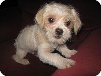 Wauseon Oh Shih Tzu Meet Dexter A Pet For Adoption