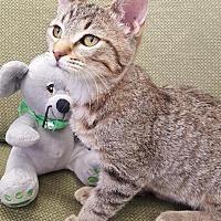 Adopt A Pet :: Joey - Saint Robert, MO