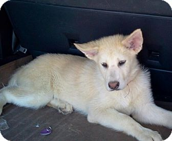 Apple Valley Ca Golden Retriever Meet Babycakes A Pet For Adoption