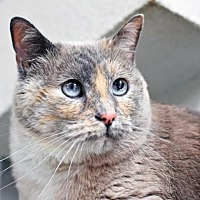 Adopt A Pet :: Cameron - Denver, CO