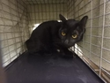Adopt a Pet :: Sheila - Honolulu, HI -  Domestic Shorthair/Domestic Shorthair Mix