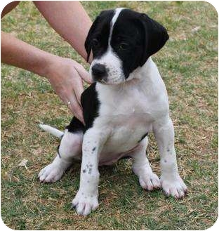 Mesa Az American Bulldog Meet Juno A Pet For Adoption
