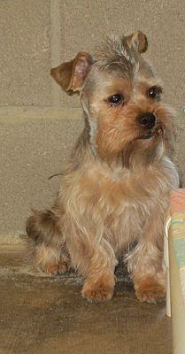 Lubbock Tx Shih Tzu Meet Sumac A Pet For Adoption