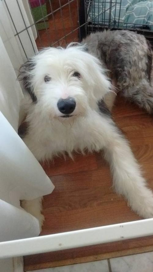Darlington, MD - Old English Sheepdog  Meet Hailey a Pet for