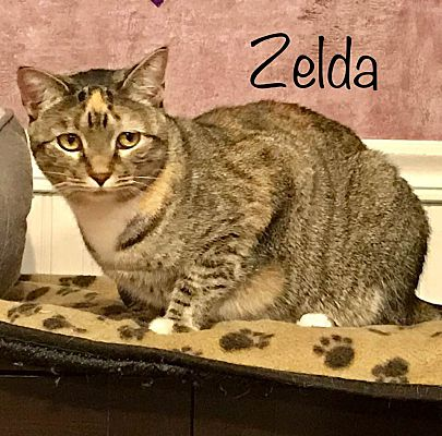 Greensburg, PA - Domestic Shorthair  Meet Zelda a Pet for