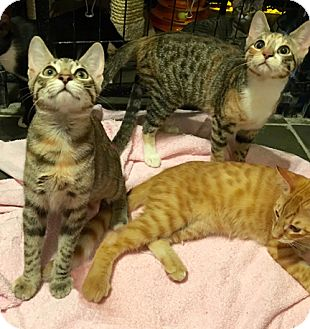 Domestic Shorthair Kitten for adoption in Metairie, Louisiana - Adorable Kittens
