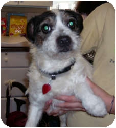 Jack Russell Terrier Mix Dog for adoption in Port Jefferson Station, New York - Pogo