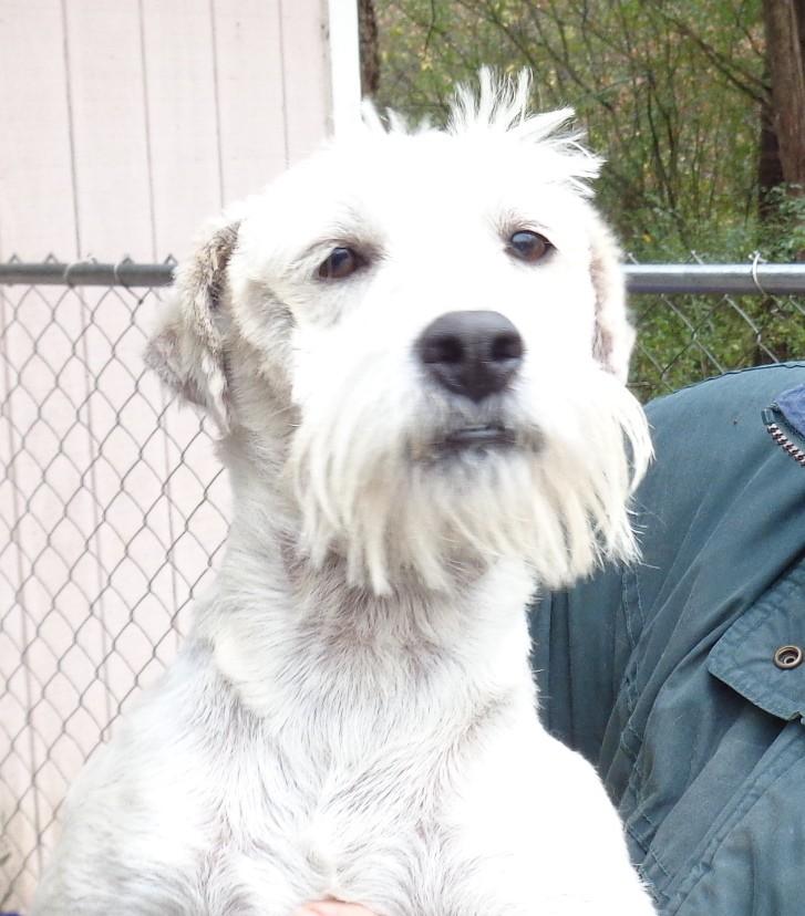 Crump, TN - Schnauzer (Miniature). Meet kipper a Dog for Adoption.