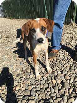 Hound (Unknown Type) Mix Dog for adoption in Breinigsville, Pennsylvania - Smokey
