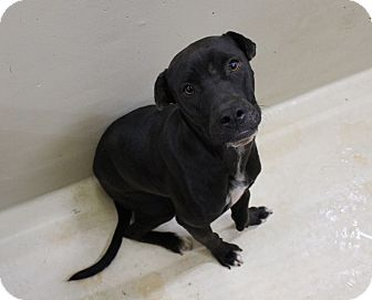 Labrador Retriever Mix Dog for adoption in Odessa, Texas - A10 Max