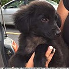 Adopt A Pet :: Pomchi Bailey