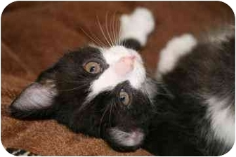 Domestic Shorthair Kitten for adoption in Walker, Michigan - Azalea