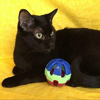 Domestic Shorthair Cat for adoption in Green Bay, Wisconsin - Zane