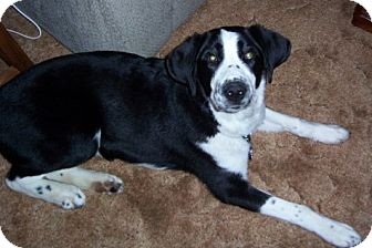 Retriever (Unknown Type)/Border Collie Mix Dog for adoption in North Olmsted, Ohio - Keno-Courtesy Post