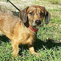 Adopt A Pet :: Beans - Snow Hill, NC