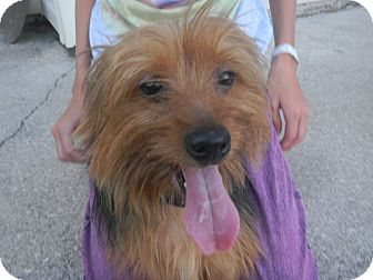 Silky Terrier/Yorkie, Yorkshire Terrier Mix Dog for adoption in Jacksonville, Florida - Champ