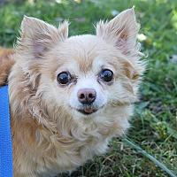Adopt A Pet :: Patty - Manassas, VA