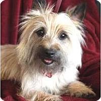 Wichita Ks Cairn Terrier Meet Lucy Lu A Pet For Adoption