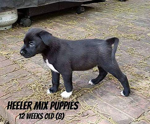 Middleton, WI - Labrador Retriever  Meet lab/heeler mix pups a Pet