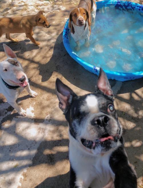 Tucson, AZ - Boston Terrier  Meet Francesco aka Franky a Pet