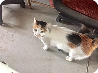 Domestic Shorthair Cat for adoption in Glendale, Arizona - FIONA
