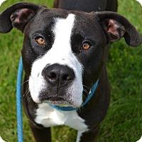 Adopt A Pet :: Porter - Toledo, OH