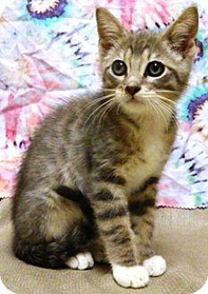 Domestic Shorthair Cat for adoption in Columbus, Nebraska - Rocko