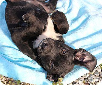 Labrador Retriever/Australian Shepherd Mix Puppy for adoption in Washington, D.C. - Grits