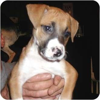 Manassas va boxer meet peggy sue a dog for adoption adopted altavistaventures Images