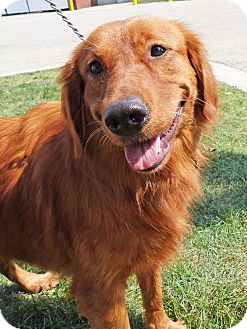 Irish Setter Golden Retriever Mix For