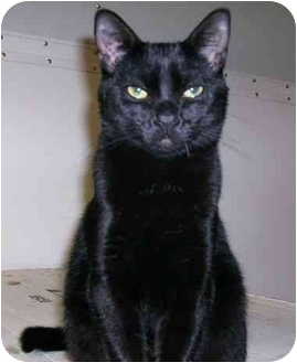 Domestic Shorthair Cat for adoption in Chilhowie, Virginia - Bat Boy