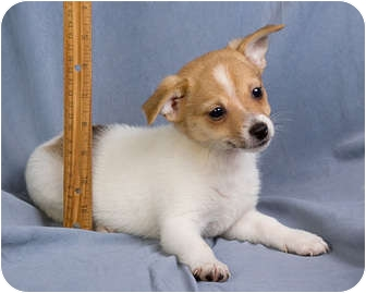 Anna Il Jack Russell Terrier Meet Brannon A Pet For Adoption