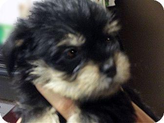 Kokomo In Shih Tzu Meet Pixie A Pet For Adoption
