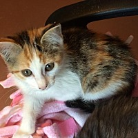 Adopt A Pet :: Harley - Weatherford, OK