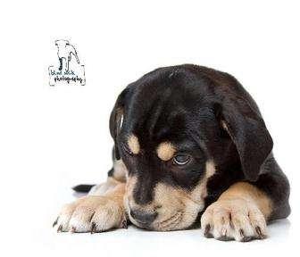 Rochester, NY - Rottweiler  Meet Felix a Pet for Adoption