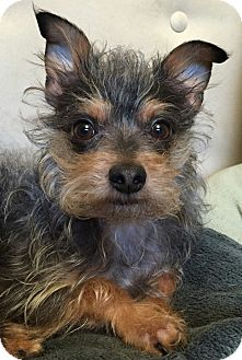 Seattle Wa Yorkie Yorkshire Terrier Meet Finnigan A Pet For