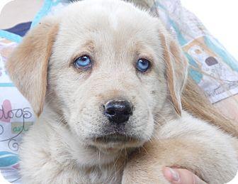 Sussex Nj Golden Retriever Meet Nakita 6 Lb Blue Eyesbobbed A