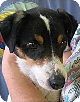 Rat Terrier/Jack Russell Terrier Mix Dog for adoption in Fort Wayne, Indiana - Jason