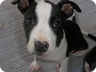 san diego ca jack russell terrier meet darla a pet for