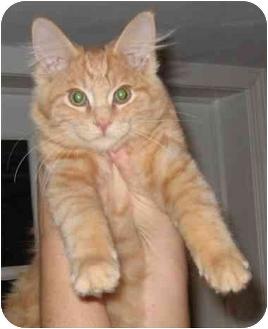 Plainville Ma Turkish Angora Meet Oliver A Pet For Adoption