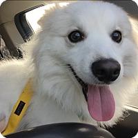Adopt A Pet :: Juno - Newtown, CT