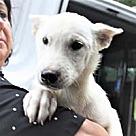 Adopt A Pet :: Eskie/Husky Alpine